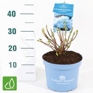 "Hydrangea Macrophylla ""Endless Summer Blue""® boerenhortensia"