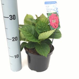 """Hydrangea Macrophylla """"Rotkehlchen"""" schermhortensia"""