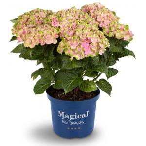 "Hydrangea Macrophylla ""Magical Amethyst Roze""® boerenhortensia"