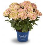 "Hydrangea Macrophylla ""Magical Coral Pink""® boerenhortensia"