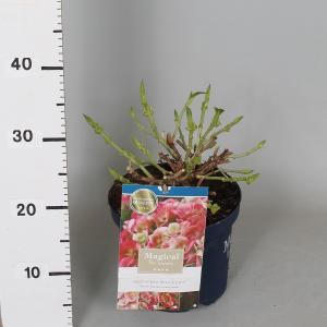 "Hydrangea Macrophylla ""Magical Revolution Roze""® boerenhortensia"