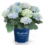 "Hydrangea Macrophylla ""Magical Revolution Blue""® boerenhortensia"