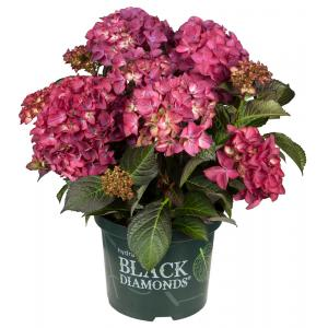 "Hydrangea Macrophylla ""Black Diamond® Red Angel Purple""® boerenhortensia"