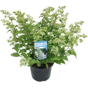 "Hydrangea Paniculata ""Brussels Lace"" pluimhortensia"