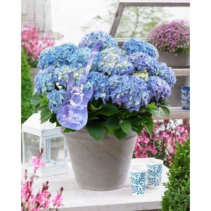 "Hydrangea Macrophylla Music Collection ""Blue Ballad""® boerenhortensia"