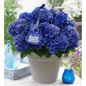 "Hydrangea Macrophylla Music Collection ""Blue Boogiewoogie""® boerenhortensia"