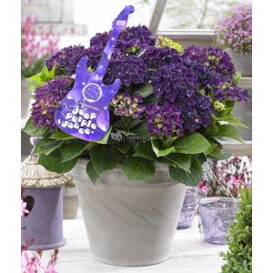 "Hydrangea Macrophylla Music Collection ""Deep Purple Dance""® boerenhortensia"