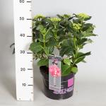 "Hydrangea Macrophylla Classic® ""French Cancan""® boerenhortensia"