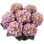 """Hydrangea Macrophylla Classic® """"Adula Blue""""® boerenhortensia"""