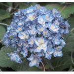 "Hydrangea Macrophylla ""Charming® Alice Blue""® boerenhortensia"