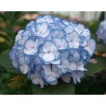"Hydrangea Macrophylla ""Charming® Lisa Blue""® boerenhortensia"
