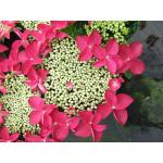 "Hydrangea Macrophylla Classic® ""Lady In Red""® schermhortensia"