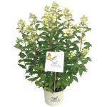 "Hydrangea Paniculata ""Butterfly""® pluimhortensia"