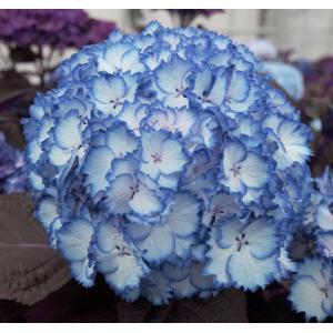 "Hydrangea Macrophylla ""Charming® Julia Blue""® boerenhortensia"