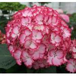 "Hydrangea Macrophylla ""Charming® Julia Pink""® boerenhortensia"