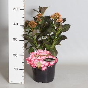 """Hydrangea Macrophylla """"Miss Saori""""® boerenhortensia"""