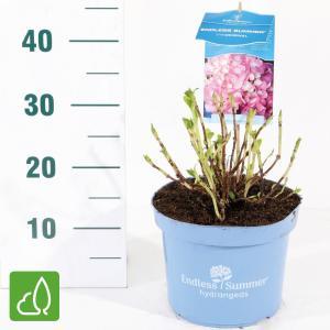"Hydrangea Macrophylla ""Endless Summer Pink""® boerenhortensia"